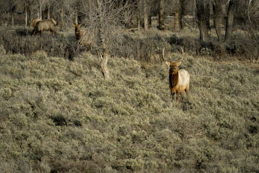 Elk bull elk,cervus elaphus,mammalia,mammal,cetardtiodactyla,deer,cervidae,least concern,vigilant,alert,grassland,profile,plains,wyoming,USA,north america,stag,male,antlers,forest,winter,America,Even-toed Ungu