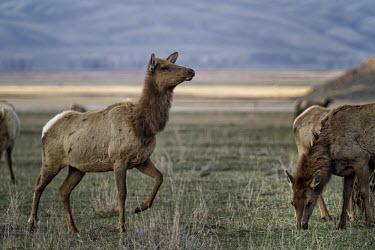 Elk cow elk,cervus elaphus,mammalia,mammal,cetardtiodactyla,deer,cow,cervidae,least concern,vigilant,alert,grassland,profile,plains,wyoming,USA,north america,female,grazing,group,America,Even-toed Ungulates,A