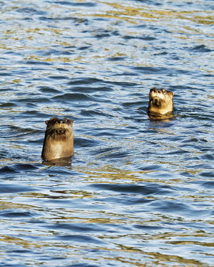 Two North American river otters in water north american river otter,north american otter,lontra canadensis,mammalia,carnivora,mustelidae,mustelid,vertebrate,least concern,swimming,fishing,head,whiskers,nose,river,oregon,USA,north america,pai