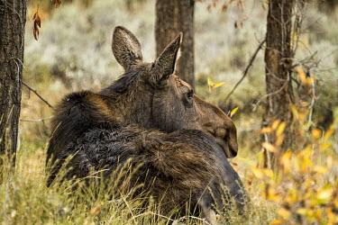 Moose in habitat moose,alces alces,mammalia,mammal,cervidae,face,forest,wood,least concern,female,nose,wyoming,USA,North america,deer,waiting,grassland,ears,America,Cervidae,Deer,Mammalia,Mammals,Chordates,Chordata,Ev