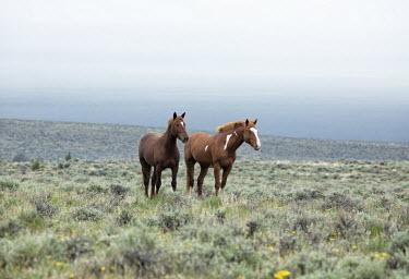 Introduced horses horse,equus ferus caballus,mammalia,mammal,equidae,elegant,vigilant,pair,winter,grassland,vertebrate,feral,released species,invasive species,oregon,north america,USA,America