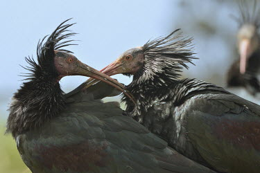 Northern bald ibis hermit ibis,northern bald ibis,ibis,ibis eremita,orbetello,threskiornithidae,Geronticus eremita,aves,bird,critically endangered,critically endangered species,grassland,bill,beak,feathers,preening,clea