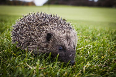 Hedgehog Hedgehog,western european hedgehog,Western hedgehog,northern hedgehog,mammalia,mammal,Erinaceidae,least concern,close up,profile,vertebrate,grassland,urban wildlife,cute,face,ears,eyes,nose,UK species
