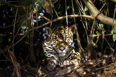 Jaguar relaxing in the shade Jaguar,Panthera onca,mammalia,mammal,carnivora,carnivore,felidae,Brazil,Cat,feline,jungle,tree,trees,Pantanal,predator,shade,spots,wetland,near threatened,vertebrate,South America,face,close up,paws,b