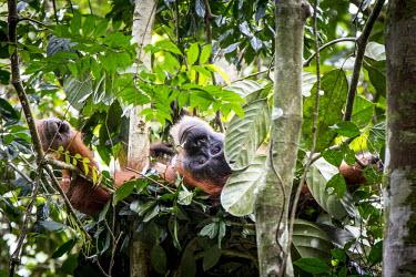 Orangutan Asia,ape,Bukit Lawang,critically endangered species,critically endangered,Indonesia,Northern Sumatra,South East Asia,Sumatra,apes,primates,homidae,rainforest,forest,vertebrate,female,parent,portrait,p