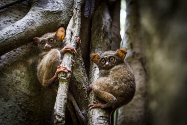 Tarsier pair Spectral tarsier,Sulawesi tarsier,Eastern tarsier,Tarsius tarsier,Indonesia,mammal,mammalia,nocturnal,Primate,Sulawesi,Tarsiidae,Tarsier,Tarsius fuscus,vulnerable,vertebrate,forest,rainforest,Asia,cut