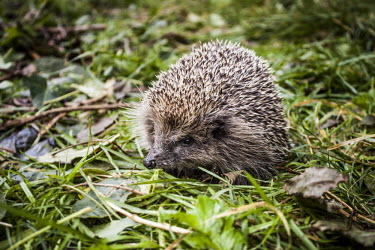 Hedgehog Hedgehog,western european hedgehog,Western hedgehog,northern hedgehog,mammalia,mammal,Erinaceidae,least concern,close up,profile,vertebrate,golf course,grassland,urban wildlife,cute,face,ears,eyes,nos