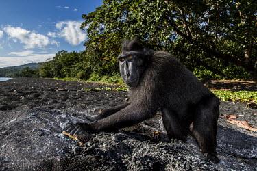 Black macaque Celebes crested macaque,gorontalo macaque,Black crested macaque,Celebes macaque,Crested black macaque,Celebes black macaque,Sulawesi black macaque,Sulawesi macaque,Macaca nigra,mammalia,mammal,primate