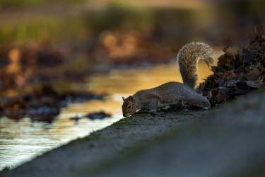 Grey Squirrel Sciurus carolinensis,sciuridae,mammalia,mammal,gray squirrel,grey squirrel,vertebrate,least concern,urban,urban wildlife,introduced species,invasive species,non native,side profile,tail,UK,Europe,rode