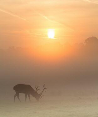 Red deer sunrise 2 cervus elaphus,red deer,cervidae,deer,mammalia,mammal,vertebrate,male,antlers,least concern,silhouette,misty,mist,grassland,UK species,British species,UK,Europe,grazing,eating,sunrise,shadow,peaceful,