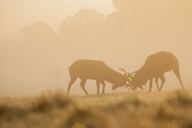 Red deer sunrise 3 cervus elaphus,red deer,cervidae,deer,mammalia,mammal,vertebrate,male,antlers,least concern,silhouette,misty,mist,grassland,UK species,British species,UK,Europe,rutting,rut,dominance,competition,pair,