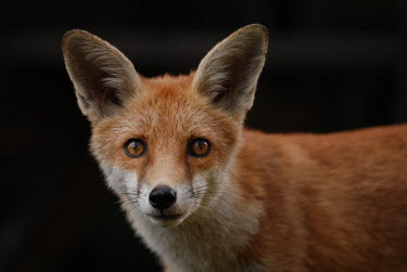 Red fox 2 Red fox,vulpes vulpes,mammal,mammalia,vertebrate,canidae,canid,fox,close up  least concern,UK species,British species,UK,Europe,portrait,close up,nose,ears,cute,face,whiskers,Chordates,Chordata,Mammal