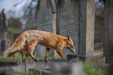 Red fox cemetery 1 Red fox,vulpes vulpes,mammal,mammalia,vertebrate,canidae,canid,fox,close-up,least concern,UK species,British species,UK,Europe,side profile,urban wildlife,urban,Chordates,Chordata,Mammalia,Mammals,Car