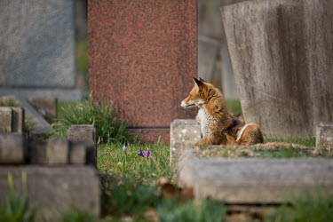 Red fox cemetery 2 Red fox,vulpes vulpes,mammal,mammalia,vertebrate,canidae,canid,fox,close up  least concern,UK species,British species,UK,Europe,side profile,urban wildlife,urban,ears,Chordates,Chordata,Mammalia,Mamma