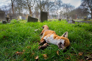 Red fox cemetery 3 Red fox,vulpes vulpes,mammal,mammalia,vertebrate,canidae,canid,fox,close up  least concern,UK species,British species,UK,Europe,side profile,urban wildlife,urban,teeth,dead,death,deceased,Chordates,Ch