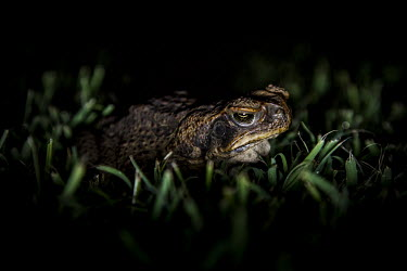 Cane toad, Australia amphibian,amphibia,toad,anura,bufonidae,vertebrate,invasive species,invasive,non-native species,pest,alien,Australia,Bufo marinus,Rhinella marina,Cane toad,night,nocturnal,close up,grumpy,least concer