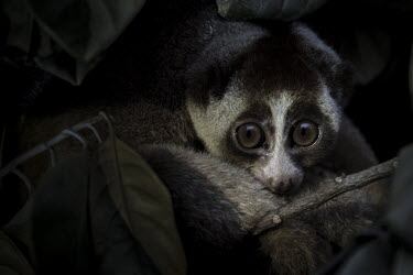 Peeking slow loris Indonesia,Java,Javan slow loris,mammal,mammalia,Nycticebus javanicus,primate,illegal,international trade,CITES,pet trade,rescue,pet,sumatra,conservation,critically endangered species,critically endang
