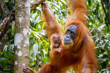 Orangutan mother and baby Asia,ape,Bukit Lawang,critically endangered species,critically endangered,Indonesia,Northern Sumatra,South East Asia,Sumatra,apes,homidae,primate,primates,mother,baby,young,juvenile,parent,love,mother