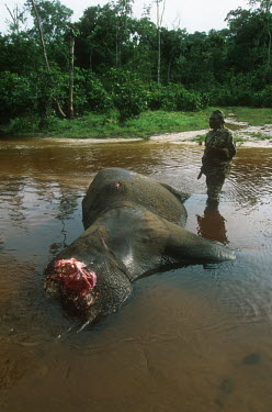 Forest elephant killed by poachers for tusks Africa,African,African elephant,animal trade,Animalia,carcass,chordate,conservation issues,dead,dead animal,death,elephant,elephantidae,endangered,endangered species,gruesome,hacked,hacking,illegal,il