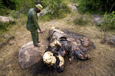 Crop raiding elephant killed by local tribes people Africa,African,African elephant,Animalia,carcass,chordate,conservation issues,dead,dead animal,death,elephant,elephantidae,endangered,endangered species,gruesome,Loxodonta,mammal,Mammalia,man,people,P