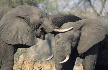 African elephant Loxodonta africana Young bulls play-fighting. Sub-Saharan Africa  AF_ELE_027 Africa,African elephant,African elephants,animal behaviour,bathes,behaviour,elephant,Elephantidae,endangered,endangered species,Loxodonta,mammal,mammalia,Proboscidea,vertebrate,bull,bulls,play fightin