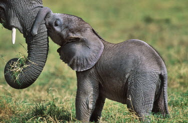 African elephant mother with young Africa,African elephant,African elephants,animal behaviour,bathes,behaviour,elephant,Elephantidae,endangered,endangered species,Loxodonta,mammal,mammalia,Proboscidea,vertebrate,baby,juvenile,young,cal