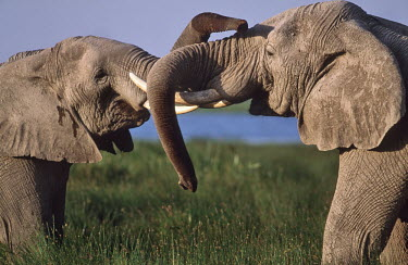 African elephant young bulls play-fighting Africa,African elephant,African elephants,animal behaviour,bathes,behaviour,elephant,Elephantidae,endangered,endangered species,Loxodonta,mammal,mammalia,Proboscidea,vertebrate,bull,bulls,play fightin