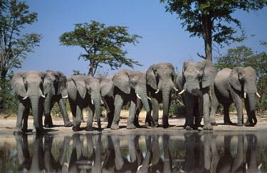 African elephant bulls drinking at waterhole Africa,African elephant,African elephants,animal behaviour,bathes,behaviour,elephant,Elephantidae,endangered,endangered species,Loxodonta,mammal,mammalia,Proboscidea,vertebrate,wet,wildlife,water,wate
