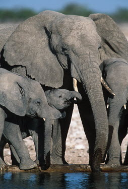 African elephant family group drinking at waterhole Africa,African elephant,African elephants,animal behaviour,bathes,behaviour,elephant,Elephantidae,endangered,endangered species,Loxodonta,mammal,mammalia,Proboscidea,vertebrate,baby,juvenile,young,cal