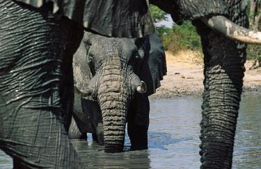 African elephant drinking at waterhole Africa,African elephant,African elephants,animal behaviour,bathes,behaviour,elephant,Elephantidae,endangered,endangered species,Loxodonta,mammal,mammalia,Proboscidea,vertebrate,wet,wildlife,water,wate