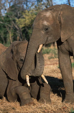 African elephants socialising Africa,African elephant,African elephants,animal behaviour,behaviour,elephant,Elephantidae,endangered,endangered species,Loxodonta,mammal,mammalia,Proboscidea,vertebrate,social,socialising,friends,Ele