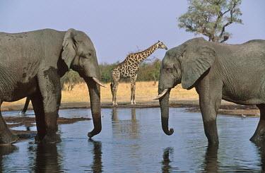 African elephants drinking at waterhole with giraffe Africa,African elephant,African elephants,animal behaviour,bathes,behaviour,elephant,Elephantidae,endangered,endangered species,Loxodonta,mammal,mammalia,Proboscidea,vertebrate,wet,wildlife,water,wate
