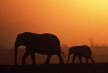 African elephant mother and calf silhouette against sunset Africa,African elephant,African elephants,animal behaviour,bathes,behaviour,elephant,Elephantidae,endangered,endangered species,Loxodonta,mammal,mammalia,Proboscidea,vertebrate,sunset,orange,beautiful