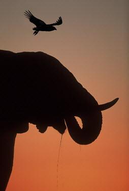 African elephant silhouette against sunset Africa,African elephant,African elephants,animal behaviour,bathes,behaviour,elephant,Elephantidae,endangered,endangered species,Loxodonta,mammal,mammalia,Proboscidea,vertebrate,sunset,orange,beautiful