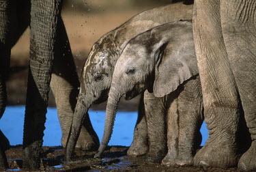 African elephant calves drinking at waterhole Africa,African elephant,African elephants,animal behaviour,bathes,behaviour,elephant,Elephantidae,endangered,endangered species,Loxodonta,mammal,mammalia,Proboscidea,vertebrate,wet,wildlife,water,wate