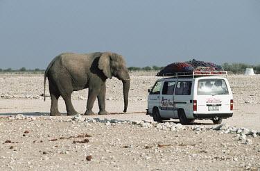 African elephant with tourists Africa,African elephant,African elephants,elephant,Elephantidae,endangered,endangered species,Loxodonta,mammal,mammalia,Proboscidea,vertebrate,ecotourism,people,humans,safari,tourism,Elephants,Chordat