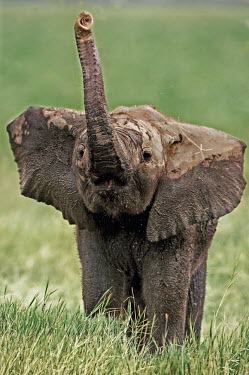 African elephant calf using trunk to smell Africa,African elephant,African elephants,animal behaviour,bathes,behaviour,elephant,Elephantidae,endangered,endangered species,Loxodonta,mammal,mammalia,Proboscidea,vertebrate,baby,juvenile,young,cut