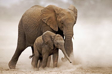 African elephant mother and young calf walking Africa,African elephant,African elephants,animal behaviour,bathes,behaviour,elephant,Elephantidae,endangered,endangered species,Loxodonta,mammal,mammalia,Proboscidea,vertebrate,baby,juvenile,young,cut