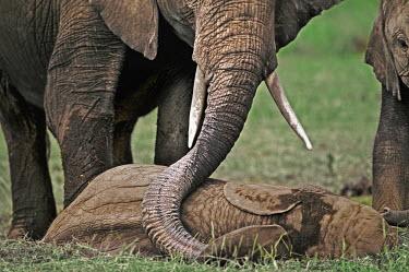African elephant calf sleeping and adult using trunk to touch calf Africa,African elephant,African elephants,animal behaviour,behaviour,elephant,Elephantidae,endangered,endangered species,Loxodonta,mammal,mammalia,Proboscidea,vertebrate,baby,juvenile,young,cute,calf,