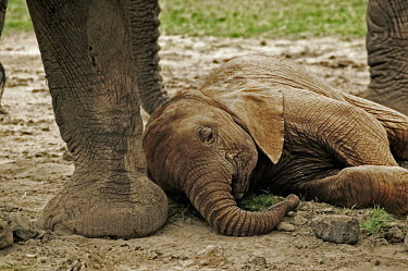 African elephant very young calf lies down to sleep while the rest of the herd relaxes Africa,African elephant,African elephants,animal behaviour,behaviour,elephant,Elephantidae,endangered,endangered species,Loxodonta,mammal,mammalia,Proboscidea,vertebrate,baby,juvenile,young,cute,calf,