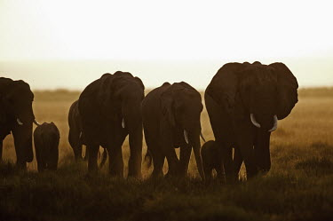 African elephant herd on the move Africa,African elephant,African elephants,animal behaviour,behaviour,elephant,Elephantidae,endangered,endangered species,Loxodonta,mammal,mammalia,Proboscidea,vertebrate,matriarch,herd,walking,movemen