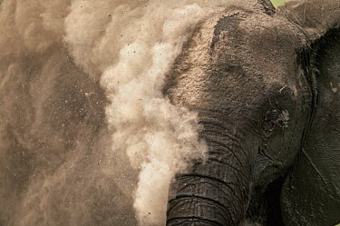 African elephant dust bathing to protect skin from parasites and cooling down Africa,African elephant,African elephants,animal behaviour,behaviour,elephant,Elephantidae,endangered,endangered species,Loxodonta,mammal,mammalia,Proboscidea,vertebrate,wet,wildlife,dust,dust bathing