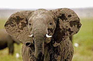 African elephant cow in aggressive posture Africa,African elephant,African elephants,animal behaviour,behaviour,elephant,Elephantidae,endangered,endangered species,Loxodonta,mammal,mammalia,Proboscidea,vertebrate,female,cow,defensive,aggressiv