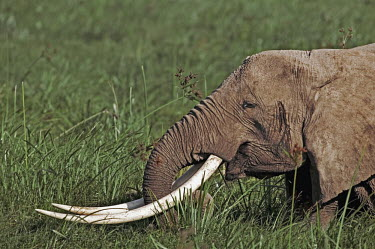 African elephant cow with exceptionally long tusks eating in swamp Africa,African elephant,African elephants,elephant,Elephantidae,endangered,endangered species,Loxodonta,mammal,mammalia,Proboscidea,vertebrate,eating,feeding,food,eat,herbivore,herbivorous,grass,swamp