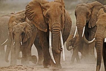 African elephant herd on the move Africa,African elephant,African elephants,elephant,Elephantidae,endangered,endangered species,Loxodonta,mammal,mammalia,Proboscidea,vertebrate,tusk,tusks,trunk,head,ears,eye,large,walking,walk,movemen