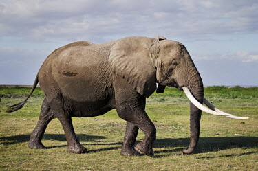 African elephant cow with exceptionally long tusks walking Africa,African elephant,African elephants,elephant,Elephantidae,endangered,endangered species,Loxodonta,mammal,mammalia,Proboscidea,vertebrate,tusk,tusks,trunk,head,ears,eye,large,walking,walk,movemen