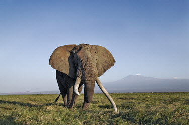 African elephant bull elephant with large tusks grazing Africa,African elephant,African elephants,elephant,Elephantidae,endangered,endangered species,Loxodonta,mammal,mammalia,Proboscidea,vertebrate,grass,tusk,tusks,trunk,head,ears,eye,large,bull male,clos
