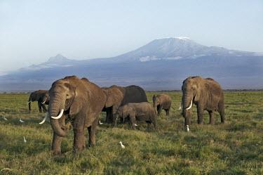 African elephant herd, Mount Kilimanjaro mountain in background Africa,African elephant,African elephants,elephant,Elephantidae,endangered,endangered species,Loxodonta,mammal,mammalia,Proboscidea,vertebrate,grass,tusk,tusks,trunk,head,ears,eye,large,bull male,clos