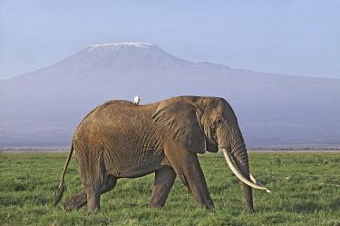 African elephant bull elephant with large tusks grazing, Mount Kilamanjaro in background Africa,African elephant,African elephants,elephant,Elephantidae,endangered,endangered species,Loxodonta,mammal,mammalia,Proboscidea,vertebrate,grass,tusk,tusks,trunk,head,ears,eye,large,bull male,clos