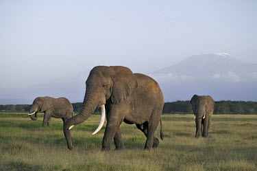 African elephants, Mount Kilimanjaro mountain in background Africa,African elephant,African elephants,elephant,Elephantidae,endangered,endangered species,Loxodonta,mammal,mammalia,Proboscidea,vertebrate,grass,tusk,tusks,trunk,head,ears,eye,large,bull male,clos